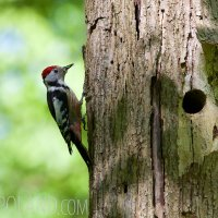 Middle-spotted Woodpecker In The Bialowieza Forest, Poland