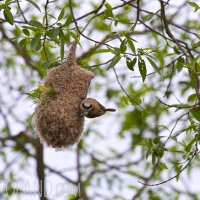 Penduline Tit's Nest In The Biebrza Marshes, Poland