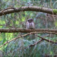 Pygmy Owl In The Bialowieza Forest