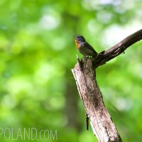 Red-breasted Flycatcher In The Białowieża Forest, Poland