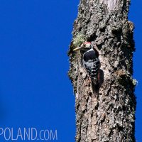 White-backed Woodpecker Male In The Białowieża Forest, Poland