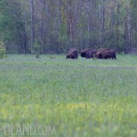 Wild European Bison Bulls In The Białowieża Forest, Poland