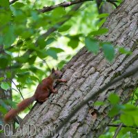 Red Squirrel In The Białowieża Forest, Poland