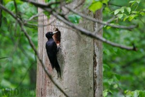Black Woodpecker in the Bialowieza Forest