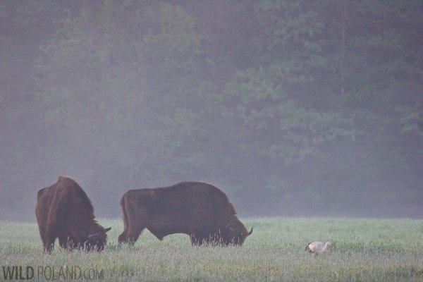 European Bison Bialowieza Forest Poland 51