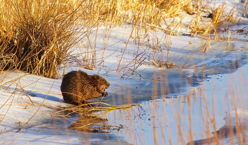 Beaver in the Biebrza Marshes, Elk, Beavers and Otters Safari 4-day tour in Feb 2014