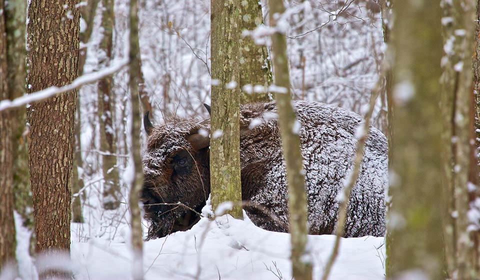 Bison in the Białowieża Forest, Winter Bison Safari & Wolf Tracking 4-day tour in Jan 2012
