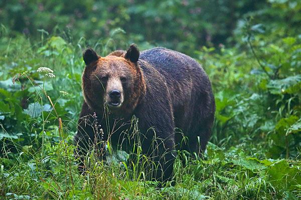 Brown bear in the Bieszczady Mts by Grzegorz Leśniewski
