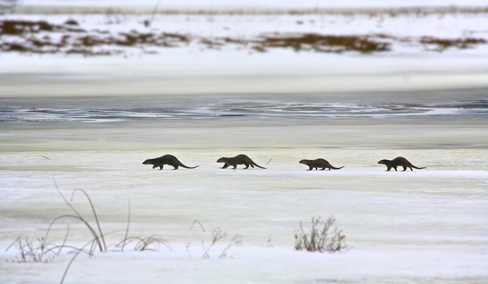 Otters in the Biebrza Marshes, Primeval Forest & Marshes tour, Feb 2013