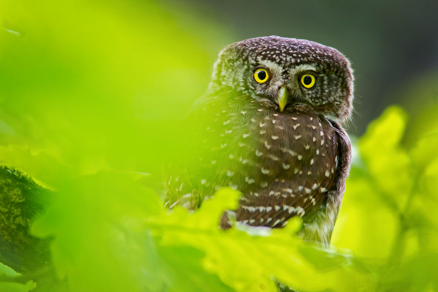 Pygmy Owl In The Białowieża Forest By Adam Panfiluk