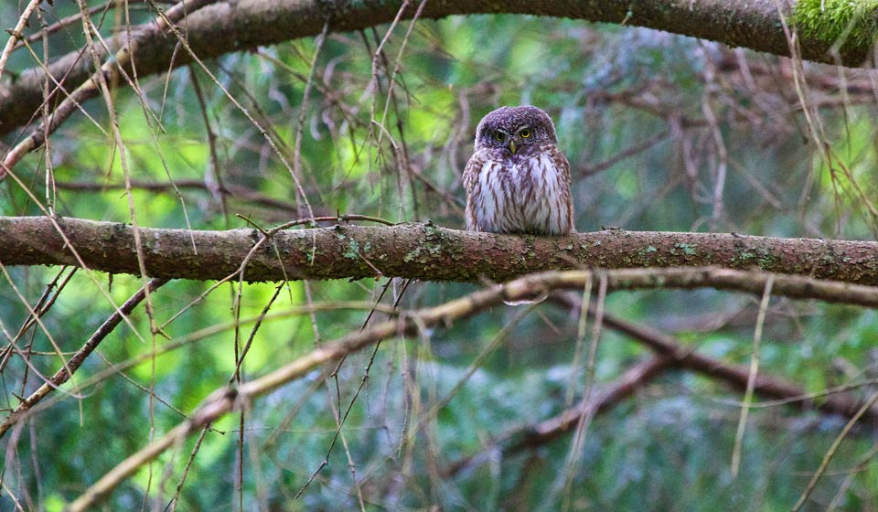 Pygmy Owl in the Białowieża Forest, seen at our Pygmy Owl weekend trip in May 2014