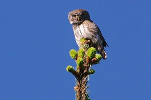 Pygmy Owl in the Białowieża Forest by Lionel Maumary