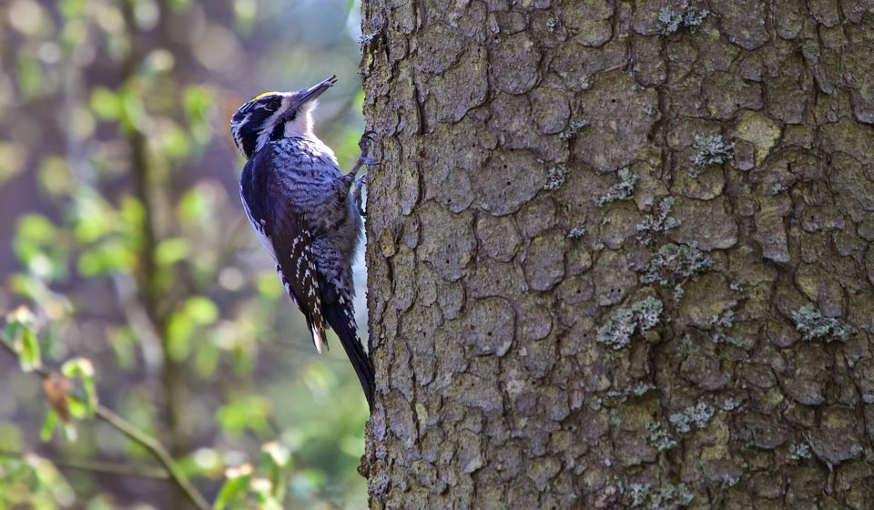 Three-toed Woodpecker in the Białowieża Forest, seen at our Bison, Woodpeckers and Owls Festival in April 2014