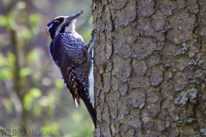 Three-toed Woodpecker in the Białowieża Forest, Poland