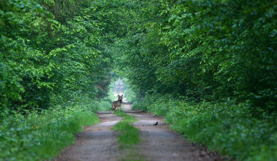 Wolf in the Białowieża Forest, seen at our Primeval Forest & Marshes tour in May 2012