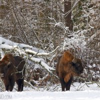 European Bison In The Białowieża Forest