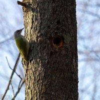 Grey-headed Woodpecker In The Białowieża Forest