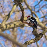 Middle Spotted Woodpecker In The Białowieża Forest