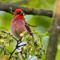 Rosefinch in the Białowieża Forest by Michael Eick