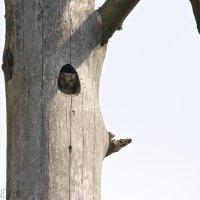 Tengmalm's Owl In The Nest, Białowieża Forest