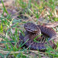 Adder In The Biebrza Marshes