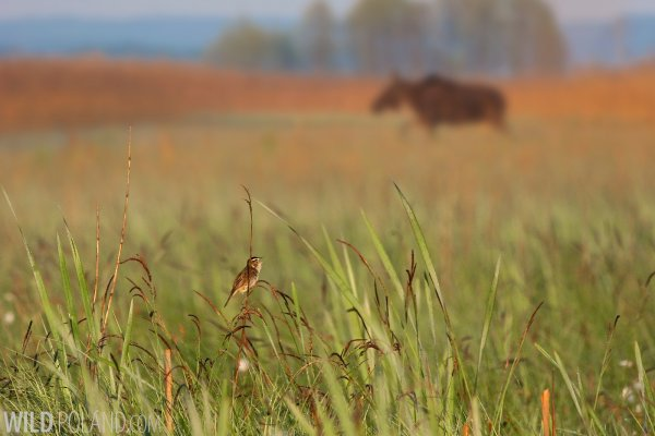 Aquatic Warbler And Elk (Moose) In The Biebrza Marshes By Lukasz Mazurek