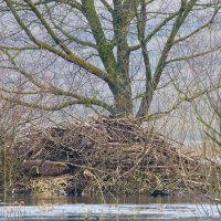 Beaver Sleeping On A Lodge In The Biebrza Marshes