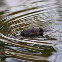 Beaver In The Biebrza Marshes, Poland