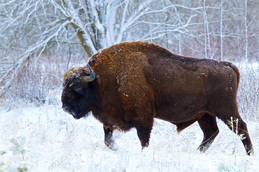 Bison in the Białowieża Forest by Łukasz Mazurek, Winter Mammals 2015