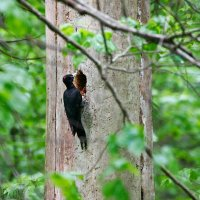 Black Woodpecker Seen On Our Trip In The Białowieża National Park