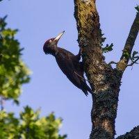 Black Woodpecker In The Białowieża Forest
