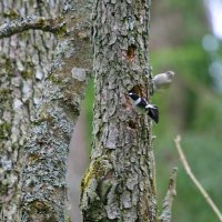 Collared Flycatcher In The Białowieża Forest By Lionel Maumary