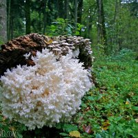 Coral Tooth Mushroom In The Białowieża Forest