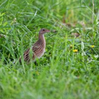 Corncrake Seen On Our Trip In Białowieża By Lionel Maumary