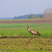 Crane In The Biebrza Marshes