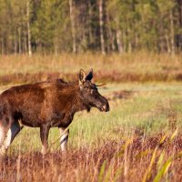 Young bull of Elk (Moose) in the Biebrza marshes