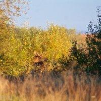 Elk (Moose) In The Biebrza National Park