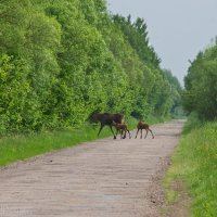 Elk (Moose) With Twin Calves In The Biebrza National Park
