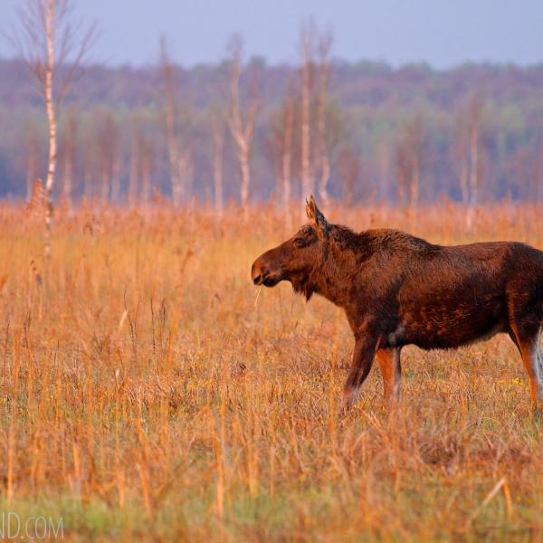 Elk (Moose) In The Biebrza National Park