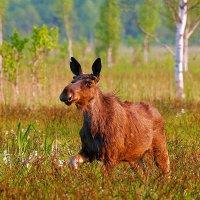 Elk (Moose) in the Biebrza Marshes by Łukasz Mazurek