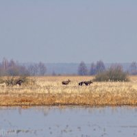 Elks Seen On The Trail In The Biebrza Marshes