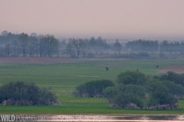 Elks (Moose) In The Biebrza Marshes