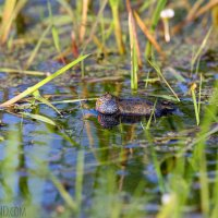 Fire-bellied Toad In The Biebrza Marshes By Michael Eick