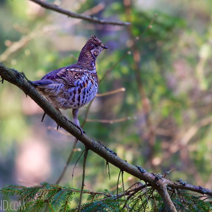 Hazel Grouse In The Białowieża Forest