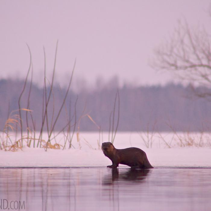 Otter In The Biebrza Marshes