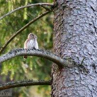 Pygmy Owl In The Białowieża Forest By Łukasz Mazurek