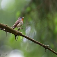 Red-breasted Flycatcher In The Białowieża Forest By Lionel Maumary