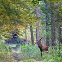 Red Deer In The Białowieża Forest