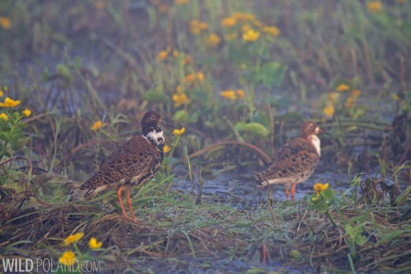 Ruff In The Biebrza Marshes