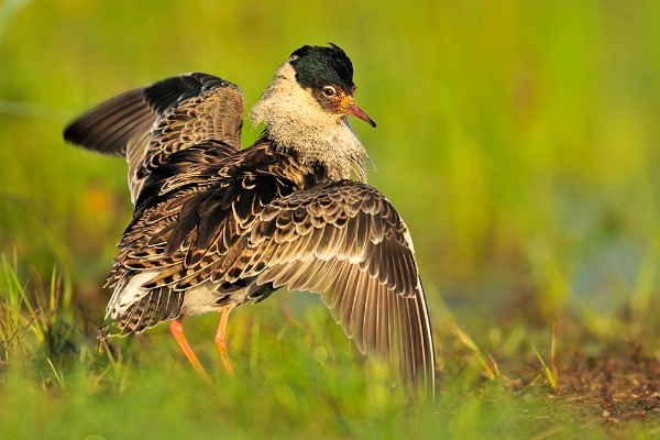 Ruff in the Biebrza Marshes by Yves Adams
